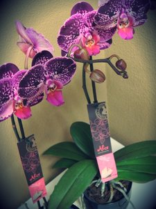 Alice Adventures Phalaenopsis Orchidee
